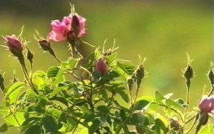rosen - rosen